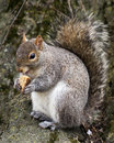 Squirrel Snack Time in Central Park Royalty Free Stock Photo