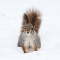 Squirrel on the snow Royalty Free Stock Photo