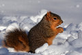 Squirrel in snow eating facing right a nut and Stock Photography