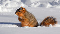 Squirrel in snow in rut the inside a the Royalty Free Stock Image