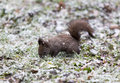 Squirrel in the snow snowing a little park while looking for food on ground Stock Photo