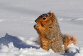 Squirrel in snow standing up eating a nut Stock Photography