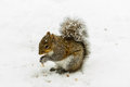 Squirrel in snowstorm a looks for food during a Stock Photography