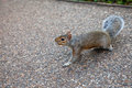 Squirrel in st james park in london Stock Photography