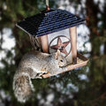 Squirrel stealing from bird feeder gray sitting on and eating seeds Stock Image