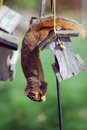Squirrel stealing bird seed Royalty Free Stock Image
