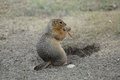 Squirrel with sweetness in his paws yakutia russia Royalty Free Stock Photos