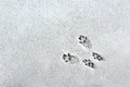 Squirrel Tracks in the Snow Royalty Free Stock Photo