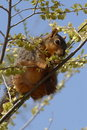 Squirrel in tree Royalty Free Stock Photo