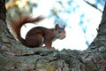 Squirrel on a tree Royalty Free Stock Photography