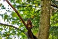 squirrel on a tree in autumn. squirrel with a nut Royalty Free Stock Photo