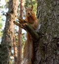 Squirrel on a tree cute sits branch Royalty Free Stock Photo