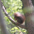 Squirrel in a tree eating nuts an trees seen mannheim waldpark Stock Photography