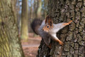 Squirrel In A Tree Looking Cur...