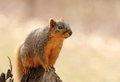 Squirrel on a tree stump eastern fox sciurus niger sitting Royalty Free Stock Photo