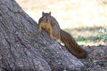 Squirrel on tree trunk Royalty Free Stock Photo