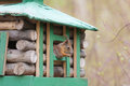 Squirrel in a wooden lodge Royalty Free Stock Photo