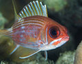 Squirrelfish Fotografie Stock