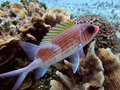 Squirrelfish Stock Photo