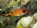 Squirrelfish de Longspine (rufus de Holocentrus) Photos stock