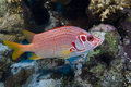 Squirrelfish longjawed Photo libre de droits
