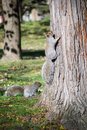 Squirrels grey squirrel in autumn park Stock Photo