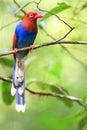 Sri Lanka or Ceylon Blue Magpie Royalty Free Stock Photo