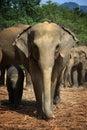 Sri Lanka: Elephants of Pinnawela Stock Photo