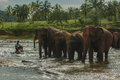 Sri lanka im november pinnawala elefant orphanag Stockbild
