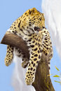 Sri Lanka Leopard Royalty Free Stock Photo