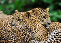 Sri Lanka Leopard Royalty Free Stock Images