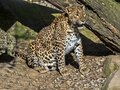 Sri Lanka Leopard, Panthera pardus kotiya, is threatened with extinction Royalty Free Stock Photo