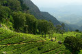 Sri lanka tea plantation in the hill country in Royalty Free Stock Images