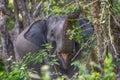 Sri Lanka: wild elephant in jungle of Yala National Park