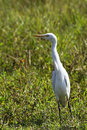 Sri lankan cattle egret Royalty Free Stock Image