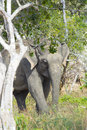 Sri lankan elephant elephas maximus maximus standing in the trees Royalty Free Stock Photography
