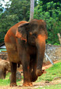 Sri lankan elephant looking great in outdoors Stock Image