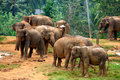 Sri lankan elephants looking great in outdoors Stock Photo