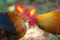Sri Lankan Jungle Fowl Royalty Free Stock Photo