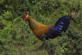 Sri lankan junglefowl in the mountain forest Stock Image