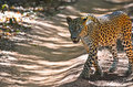 Sri lankan leopard panthera pardus kotiya the is a subspecies native to lanka classified as endangered by iucn the Stock Photo