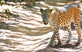 Sri lankan leopard panthera pardus kotiya at wilpattu national park the is a subspecies native to lanka classified as endangered Stock Photo