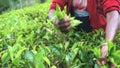 Sri Lankan Local Woman Gathering Tea, Slow Motion Close Up