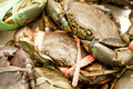 Sri Lankan Mud Crab Royalty Free Stock Photo