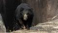 Srilankan sloth bear! Royalty Free Stock Photo