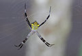 St andrew s cross spider argiope commonly known as Stock Image