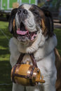 St bernard wearing a keg male the iconic of brandy they always wear in cartoons Stock Images
