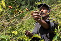 St Helena coffee farmer picking ripe cherry beans Royalty Free Stock Photo