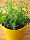 St. John's Wort in flowerpot Stock Photo