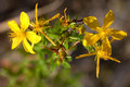 St John's wort Royalty Free Stock Photography